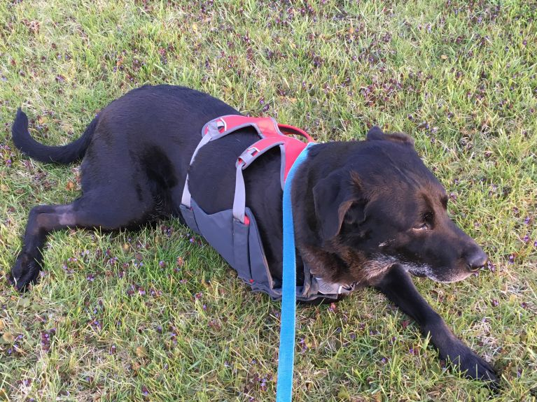 """Unfortunately, this is what most of our walks look like.  He enjoys when I """"pick him up like a suitcase"""" using his new harness."""