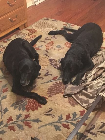 Otis and Tess upstairs in my bedroom - they won't miss this morning ritual.