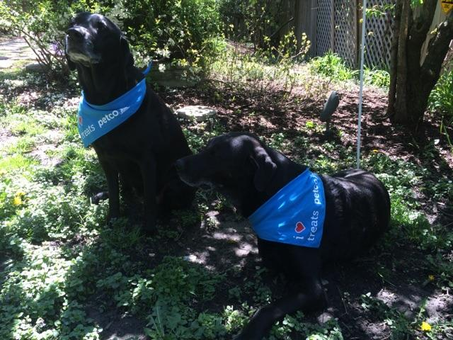 """New Petco opened so we got matching bandanas.  I have to admit that Otis wasn't that fond of his """"completed chemo"""" bandana - must have smelled like vet hospital."""