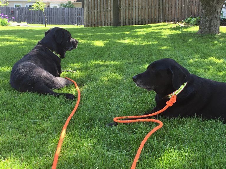 I have started taking them out for walks together, using the long hunting lead. They have a ball, both of them enjoy themselves so much, and now House 5 is a family rest stop. They even get the chance to play a little, since the lead is so long.