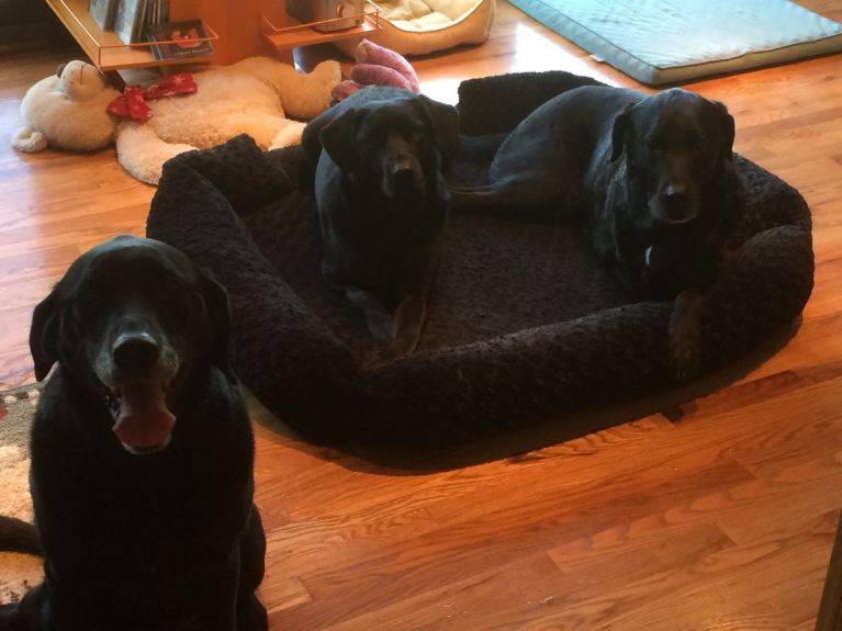 No, your eyes do not deceive you.   There are three black lab mixes in this picture.  We call it a Lab Fest.  I went on a business trip, and Tess and Otis spent the time with my ex and his one year old lab Stella.
