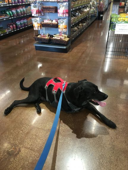 I took Otis to a neighborhood pet store that opened near our house.   I wanted him to have a nice outing in the car that didn't involve the vet.   But he discovered something even better - Tripawds in a pet store get smothered in attention and TREATS.   And, when the word cancer is mentioned, the Tripawd gets even more TREATS and  lots of free samples!