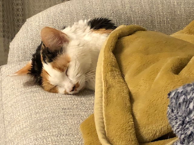 Calico cat sleeping with a blanket