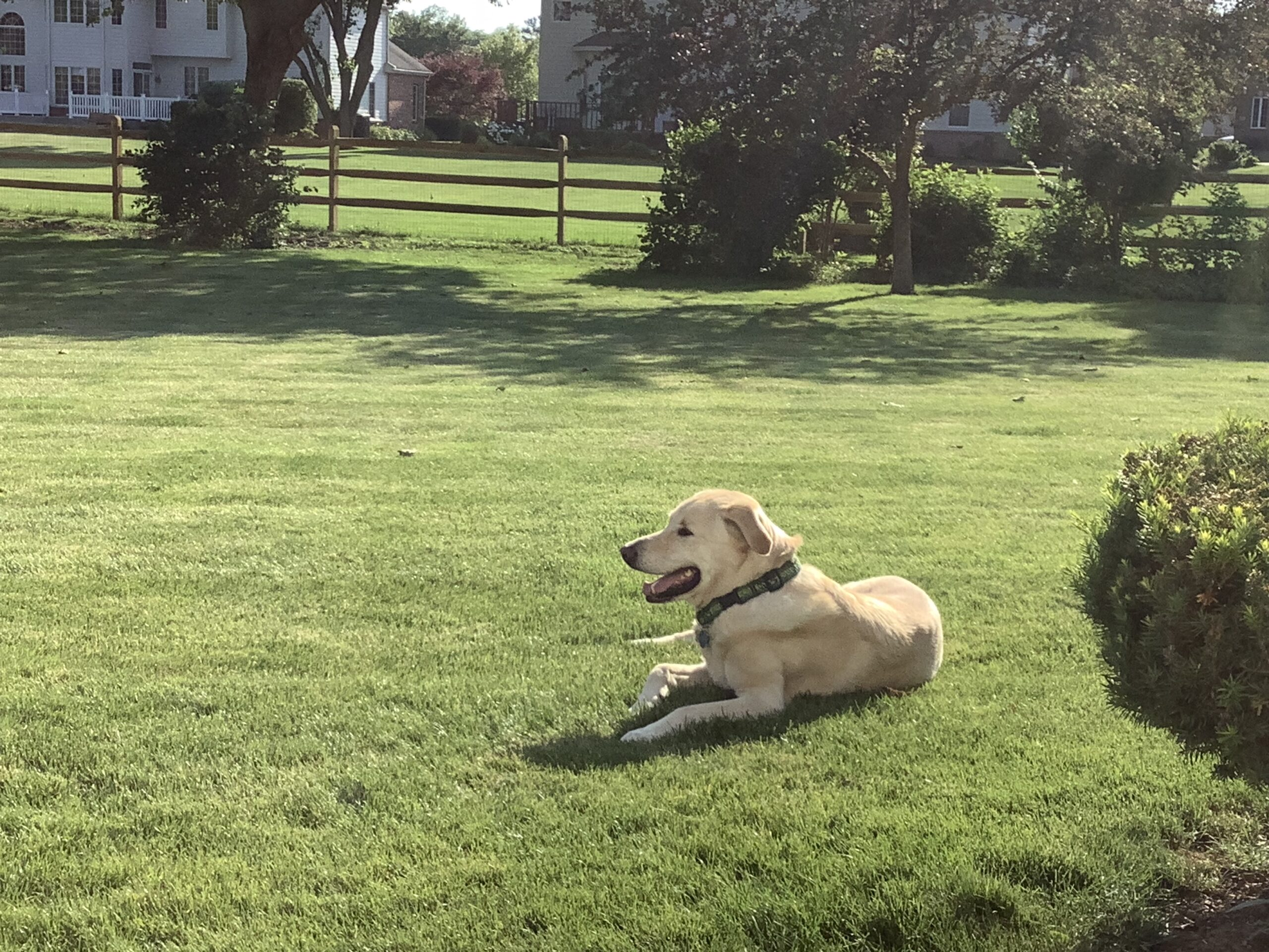 Yellow lab in grass with split rail fence